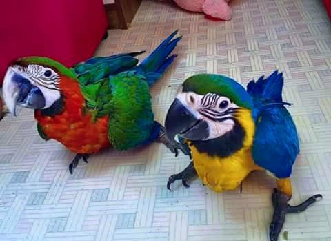 tamed parrots, fertile parrot eggs, incubators for sale