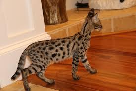 F1 Savannah kittens for adoption.