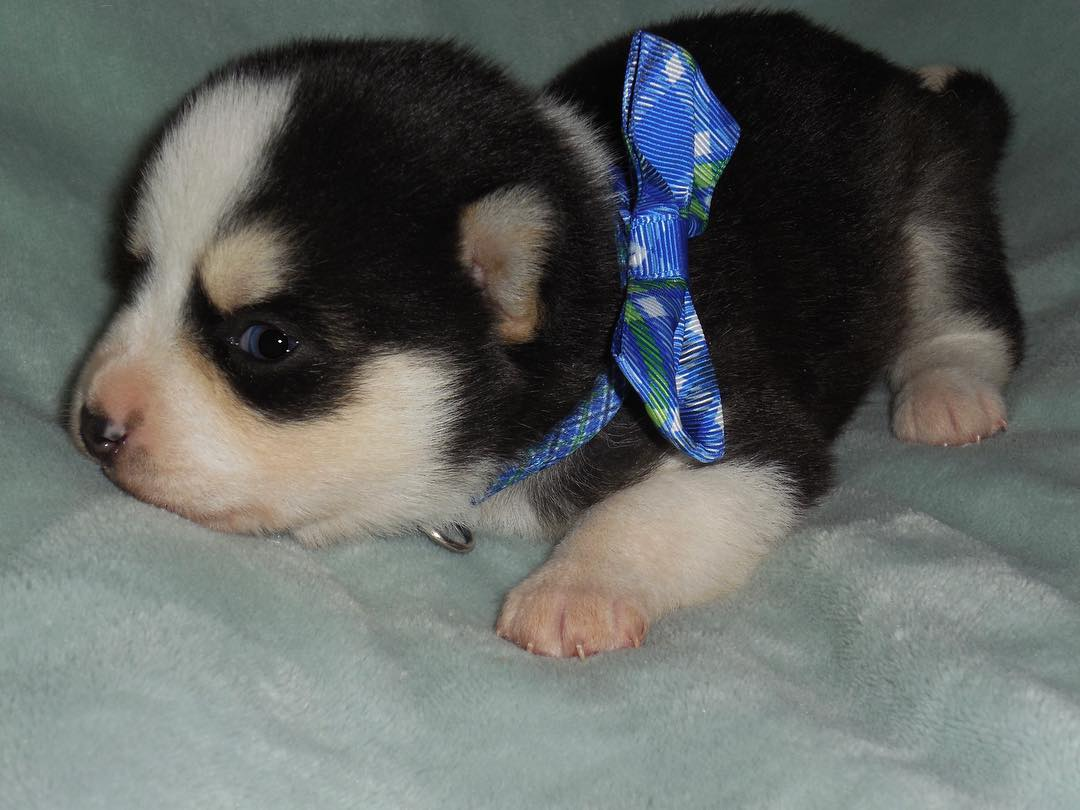 POMSKY PUPPY FOR SALE WhatsApp (+971523440048).