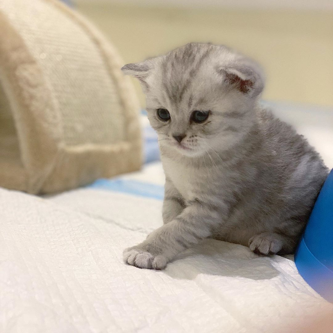Scottish Fold kittens available for sale now