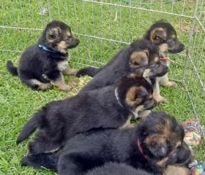 German Shepherd Puppies for Loving Family