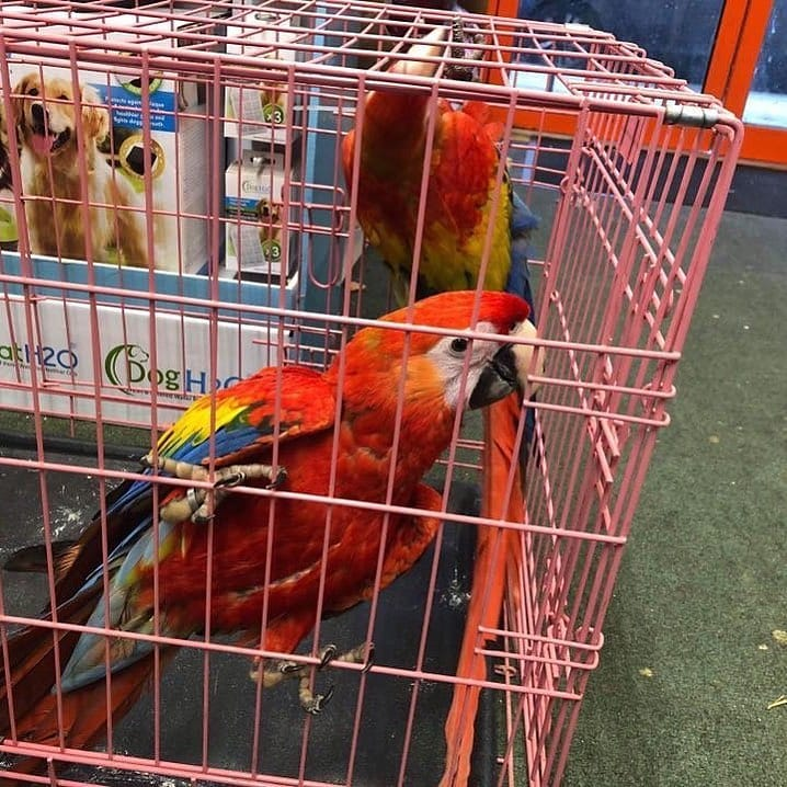 Blue And Gold Macaw Semi Tamed