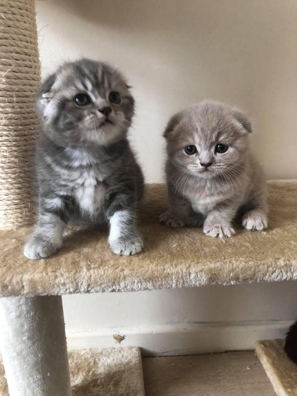 Scottish Fold kittens  Excellent Bloodlines!!!