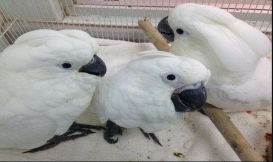 Umbrella atoo parrots for Sale