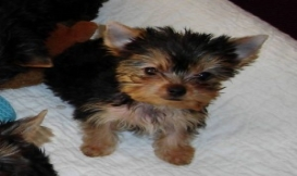 Yorkshire Terrier Puppies For Adoption..//