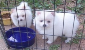 Charming Pomeranian Puppies Available..