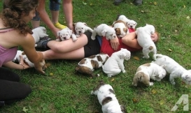 Breath Taking English Bulldog Puppy