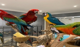 Blue And Gold Macaw Semi