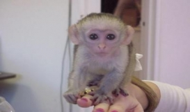 Baby Capuchin s for sale