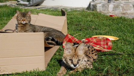 Own your very own living room leopard!. Savannah AND Servals