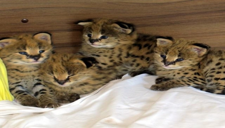 serval , savannah and caracal kittens for sale