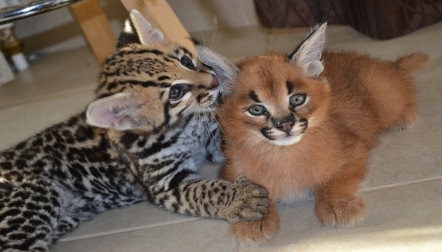 Very exotic bengal, savannah, serval, and caracal kittens