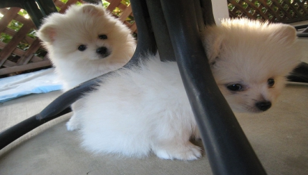 White Miniature Male and Female Pomeranian Puppies