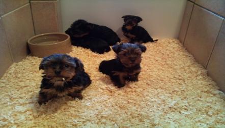 Tiny Teacup BlackTan Yorkie Puppies