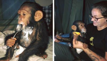 Lovely Chimpanzee s available