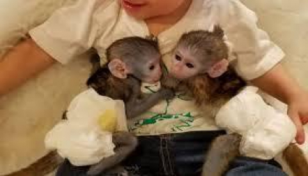 Lovely male and female Capuchin s available