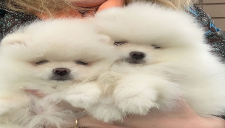 Adorable pomranian puppies for sale