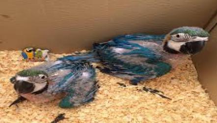 Fresh Fertile Parrot Eggs and Birds For Sale