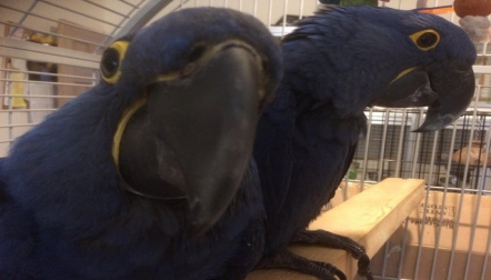 Talking Hyacinth Macaw Parrot Babies with Cage