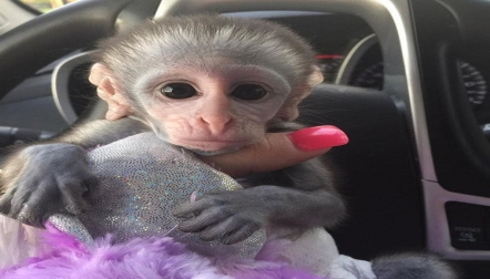 males and females capuchin monkeys available