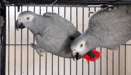 African grey parrots for sale whatsapp 00237698000535