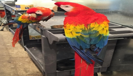 **Beautiful DNA Tested Scarlet Macaws**MalesFemales!!