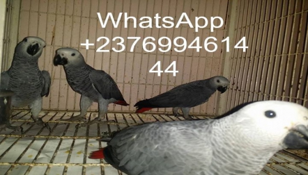 African grey parrots for sale     whatsapp 00237699461444
