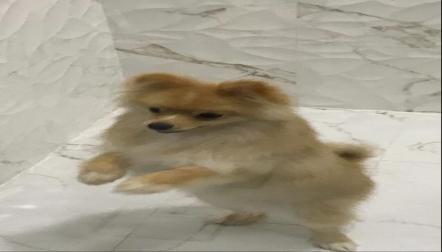 Pomeranian male dog for sale