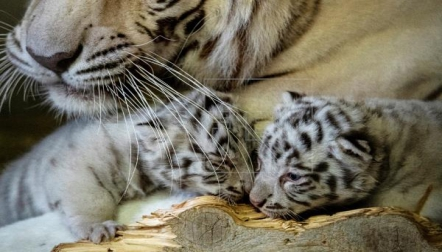 White Tiger Cubs Available for Sale