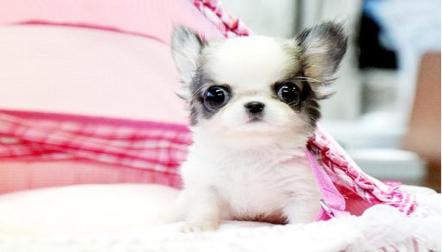 Tea Cup Chihuahua Puppies for adoption watsaap at (+97152344