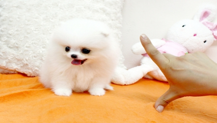 Adorable 10 weeks old Teacup Pomeranian male and female