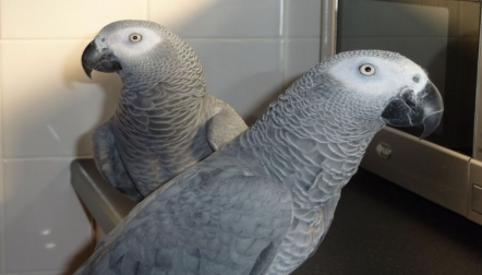 African Congo Grey Pet Parrot Birds Available now