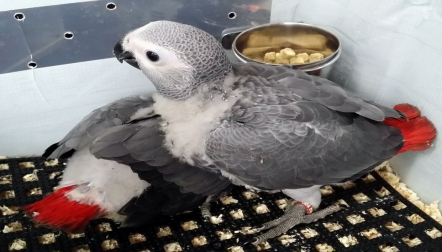 African Congo Greys Redtail Young  Pairs,