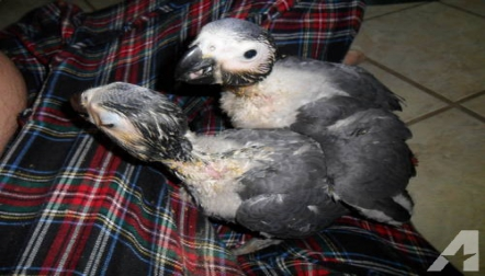 African Congo ,Timneh Greys babies for sale