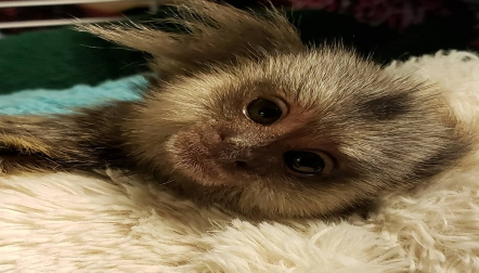 Sweet Marmoset s for sale