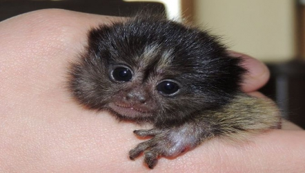 Male and Female Marmoset s Available For Sale