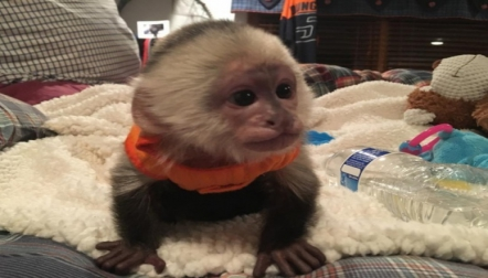 Capuchins for sale
