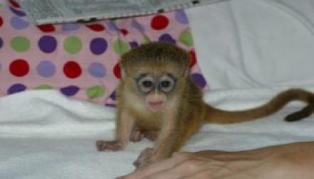 Capuchin monkeys for sale.