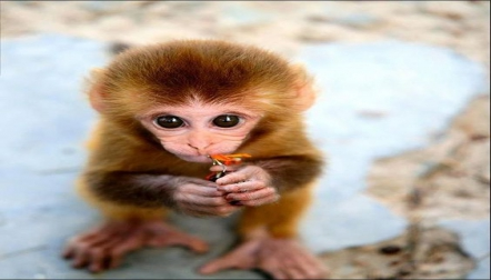 Lovable Capuchin monkeys for sale.