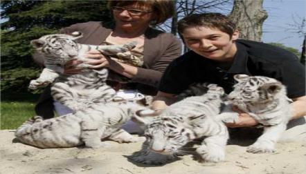 Buy Tiger Cubs For Sale|Cheetah Cubs|Lion Cubs For Sale