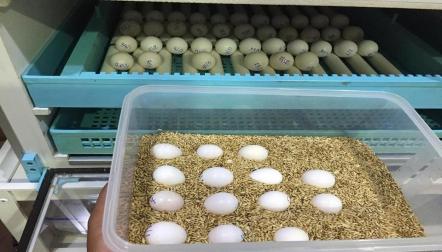 Healthful and fertile parrot eggs