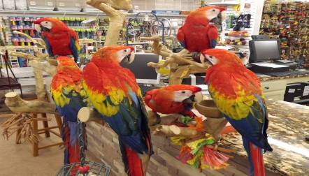 Scarlet Macaw Pet Parrots Birds Available