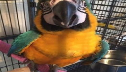 Beautiful Blue and Gold macaw is available.