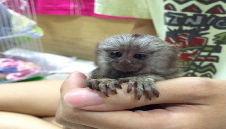 Finger Marmoset s for sale