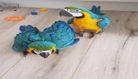 Blue and Gold Macaw Proven Breeder Pairs on Sale