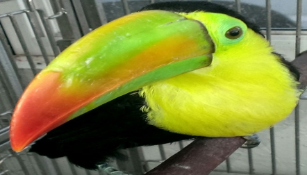 Keel Billed Toucan – 1 yr – Extremely Tame.