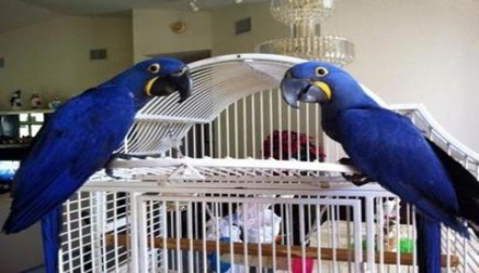Beautiful Macaw Parrots Available