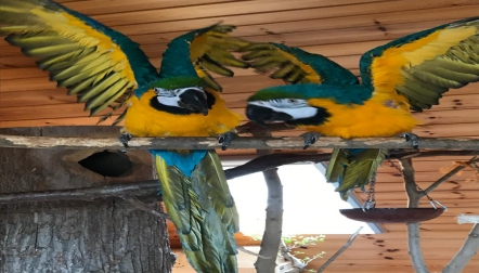 SOCIALIZED MACAW PARROTS FOR SALE