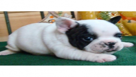 Available French Bulldog Puppies contact or Whats App us