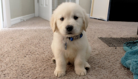 Golden Retriever Puppies ready